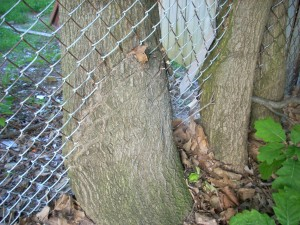 tree and fence 4