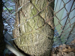 tree and fence 7